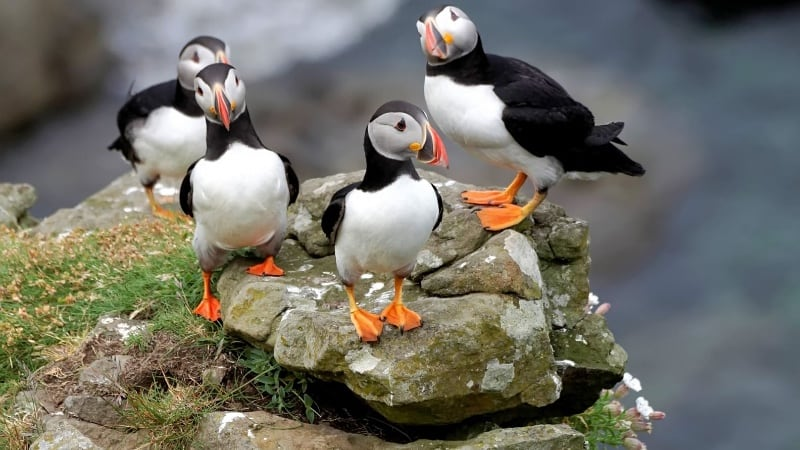 four puffins on a rock