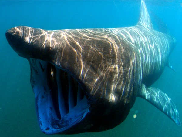 Basking Sharks Everywhere!
