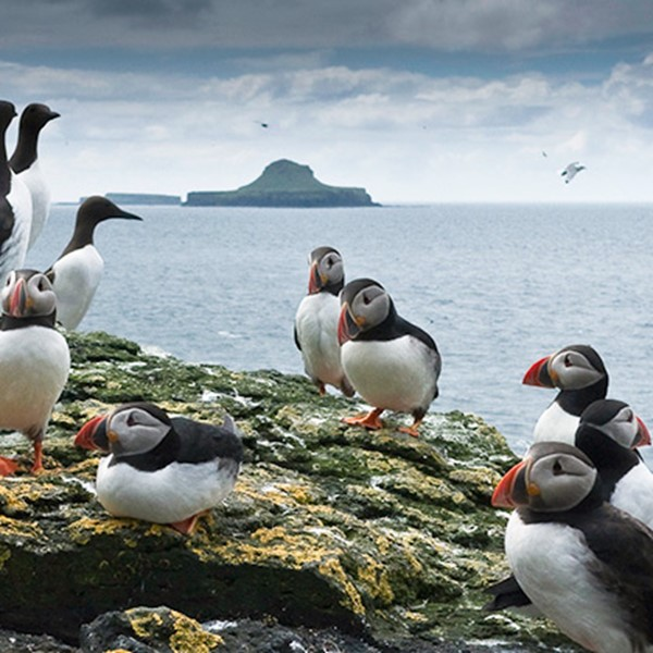 7 Amazing Fact About Puffins